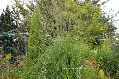 Молиния тростниковая (Molinia arundinacea) высокая