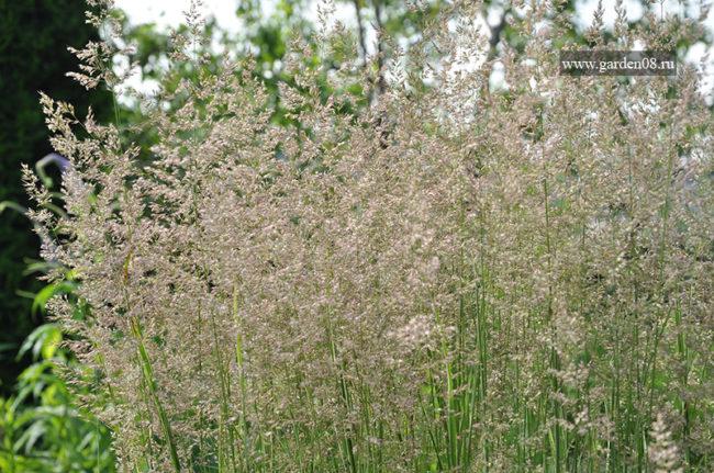 Вейник остроцветковый «Overdam» в начале июля