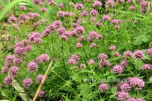 Фуопсис длинностолбиковый (Phuopsis stylosa)