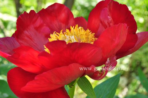 Пион травянистый «Orange Glory»