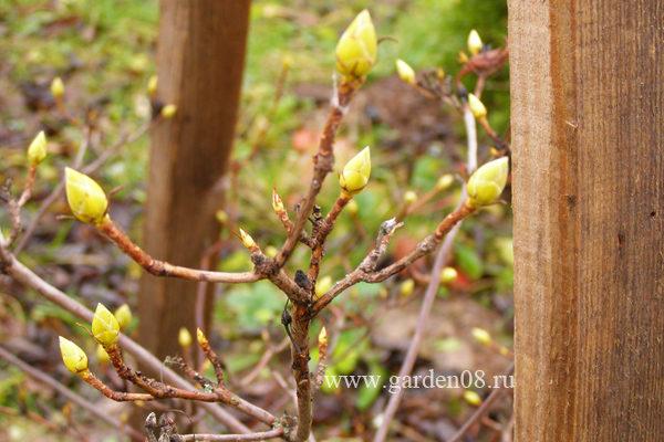 Цветковые почки рододендрона японского желтого