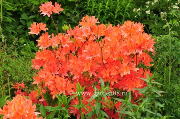 Рододендрон японский оранжевый