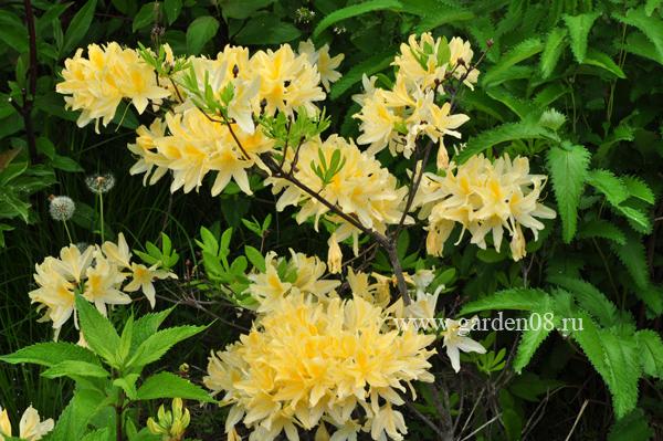 Рододендрон желтый листопадный