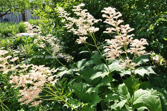 Роджерсия стополистная (подофилловая), цветение в июне
