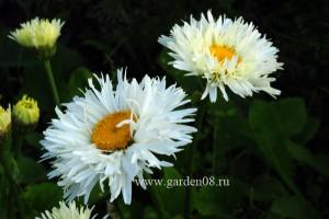 Ромашка (нивяник) садовая полумахровая