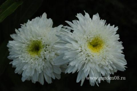 Ромашка (нивяник) садовая махровая