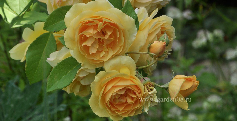 Роза «Graham Thomas»