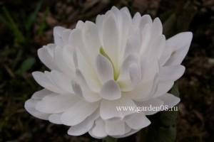 Сангвинария канадская махровая «Flore Pleno»