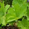 Сангвинария канадская махровая «Flore Pleno», листва