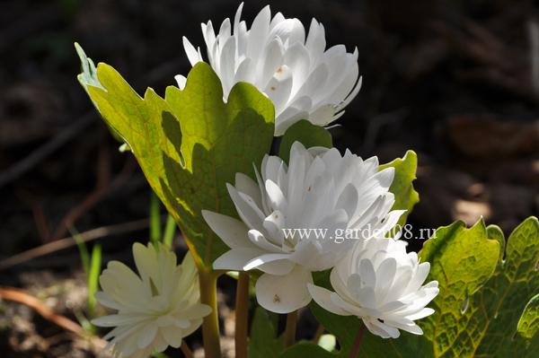 Сангвинария махровая «Flore Pleno»