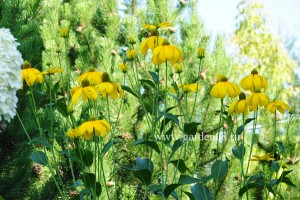 Рудбекия (Rudbeckia laciniata «Herbstonne»)