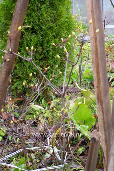 Обвязка ветвей рододендрона перед укрытием
