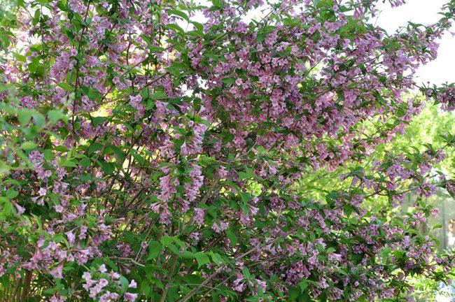Вейгела розовая, цветущая