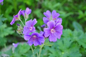 Герань садовая (Geranium)