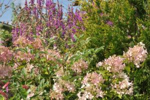 Мой сад , август, 2015 год