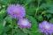 Василёк выбеленный (Centaurea dealbata)