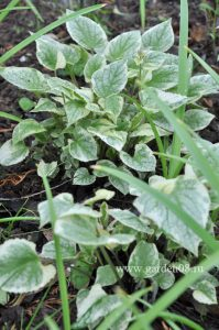 Бруннера macrophylla «King's Ransom»