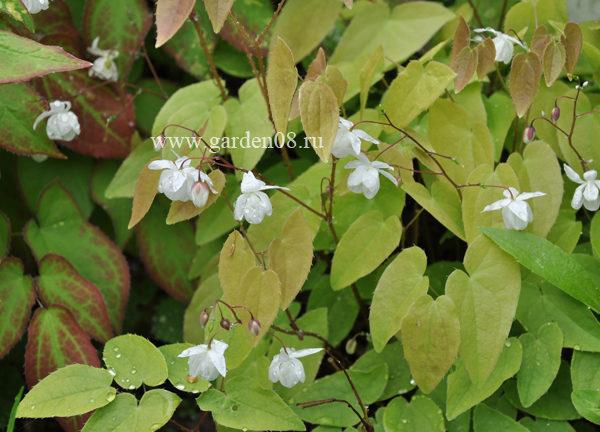 Горянка Юнга (Epimedium youngianum) «Niveum»