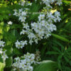 Колокольчик молочноцветковый белый