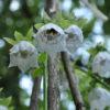 Кодонопсис (Codonopsis) tangshen