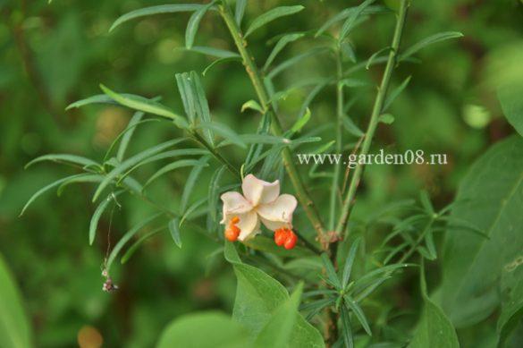 Бересклет карликовый (Еuonymus nanus)