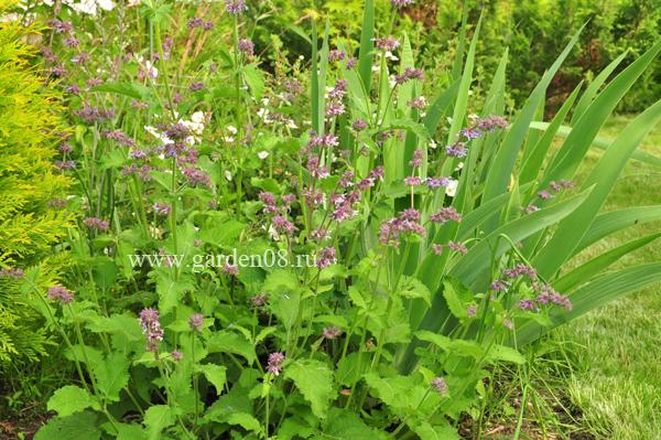 Шалфей мутовчатый (Salvia verticillata)