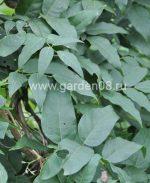 Апиос американский (Apios americana), листва