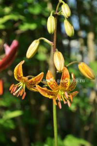 Lilium martagon Nicotine (Sunny Morning)