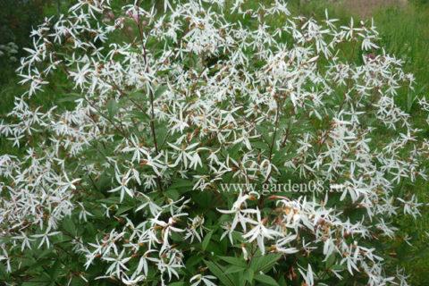 Гилления трехлистная (trifoliata)