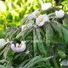 Подофилл Эмоди (Podophyllum emodii)