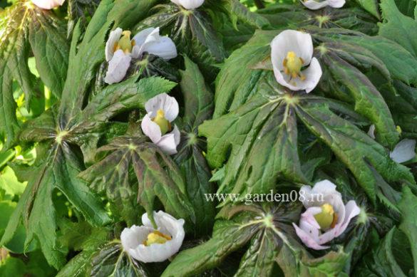 Подофилл (Podophyllum)