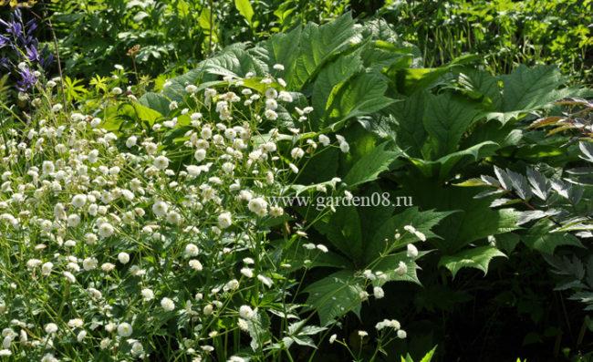 Лютик аконитолистный «Flore-Pleno» и роджерсия