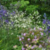 Ranunculus aconitifolius Flore Pleno, герань и камассия