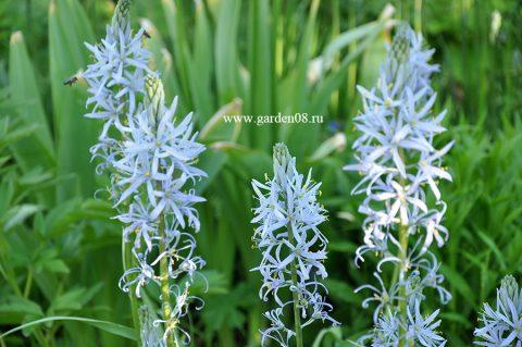 Камассия голубая (Camassia)