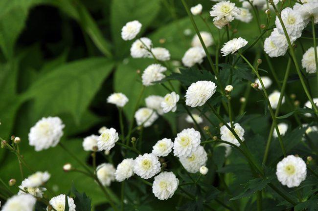 Лютик аконитолистный «Flore Pleno»