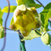 Кодонопсис ланцетный (Codonopsis lanceolata)
