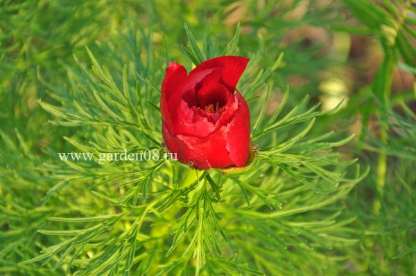 Пион узколистный, тонколистный (tenuifolia)