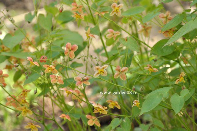 Горянка варлийская (Epimedium x warleyense ) «Orangekonigin»
