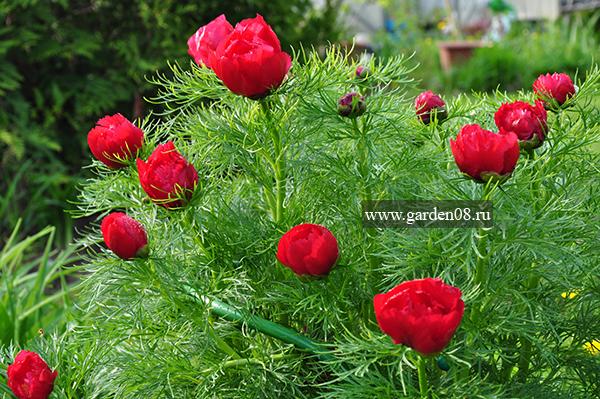Пион тонколистный (tenuifolia)