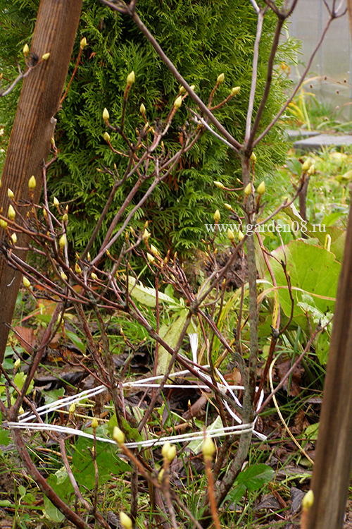 Подготовка листопадного рододендрона к укрытию на зиму, связка