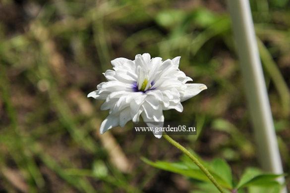 Анемона дубравная (anemone nemorosa) Blue-Eyes