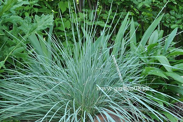 Овсец вечнозеленый (Helictotrichon sempervirens)