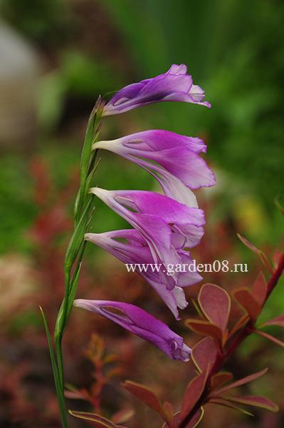 Гладиолус видовой (gladiolus)