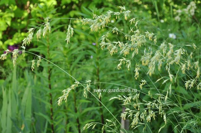 Овсец вечнозеленый (Helictotrichon sempervirens), колоски