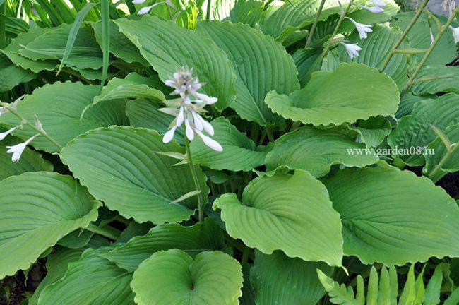 Хоста «Donahue Piecrust» в цветении
