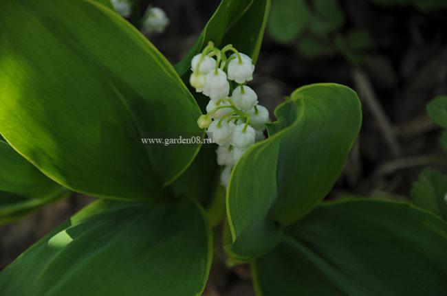 Ландыш майский (Convallaria majalis) варьегатный