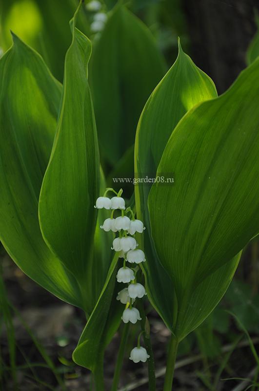 Ландыш майский (Convallaria majalis) вариегатный