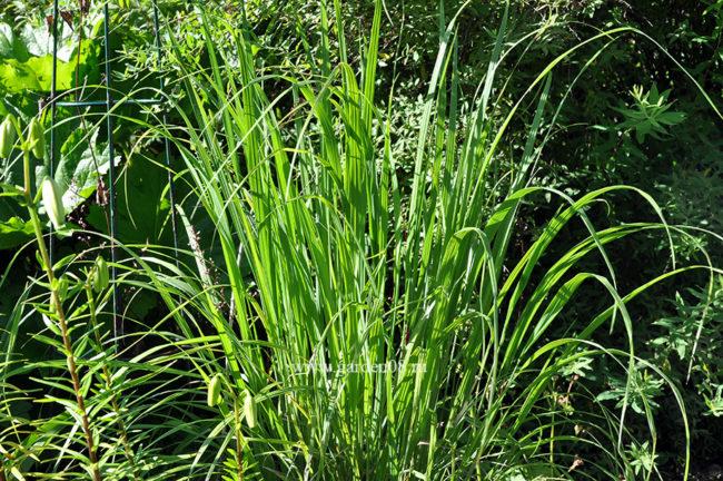 Камышовая трава