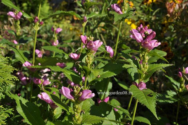Хелоне (Chelone) розовая