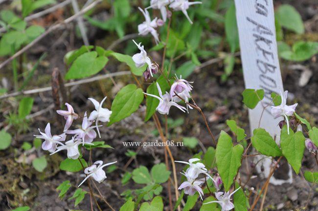 Горянка крупноцветковая Akebono (Epimedium grandiflorum)